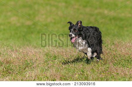 Stock Dog Runs Left - at sheep dog herding trials