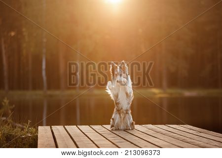 Dog border collie posing on a wooden pier