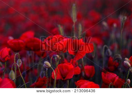 Flowers Red Poppies Blossom On Wild Field. Beautiful Field Red Poppies With Selective Focus. Red Pop