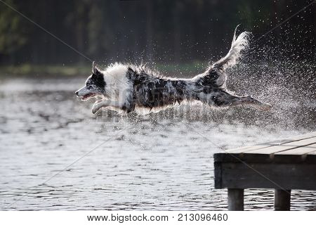 Dog border collie jumping into the river from the pier