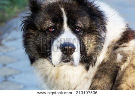 Fluffy Caucasian shepherd dog in the yard. Caucasian sheepdog in autumn time.Adult Caucasian Shepherd dog