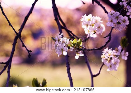 Spring Garden Of Flowering Apricots. Spring Blossom. Apricot Blossom Branch Close-up The Buds On The