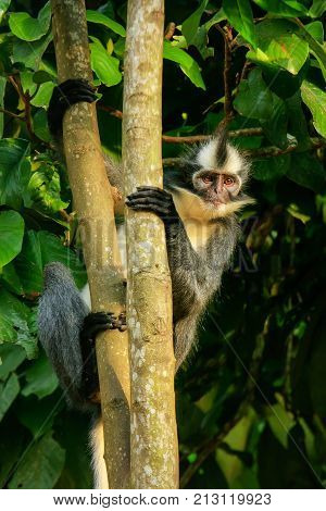 Thomas Leaf Monkey (presbytis Thomasi) Sitting In A Tree In Gunung Leuser National Park, Bukit Lawan