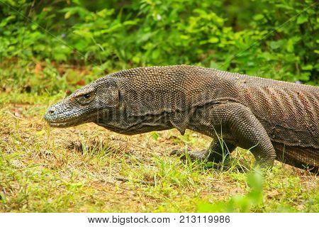 Komodo Dragon Walking On Rinca Island In Komodo National Park, Nusa Tenggara, Indonesia