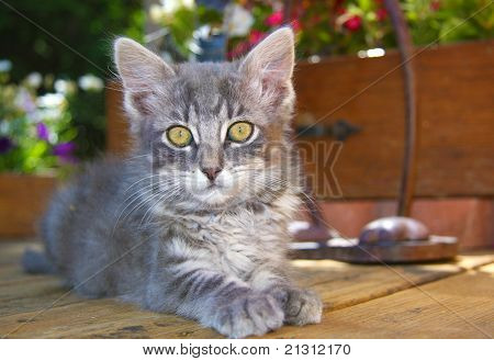 Fluffy Gray Kitten