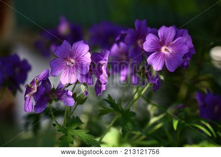 Large violet flowers of a geranium are shined non-uniformly. On petals there are water drops.