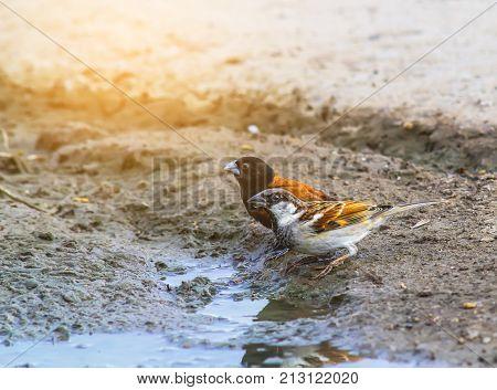 House sparrow (Passer domesticus). Portrait of garden bird on concrete path.