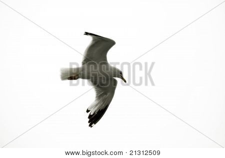 Seagull In Full Flight