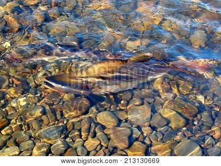 River in the taiga, pink salmon goes to spawn. Spawning of salmon. Fishing in Kamchatka. Summer. Russia, the Kamchatka Peninsula. Low DOF.