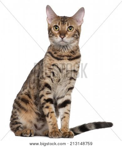 Bengal cat, 7 months old, sitting in front of white background