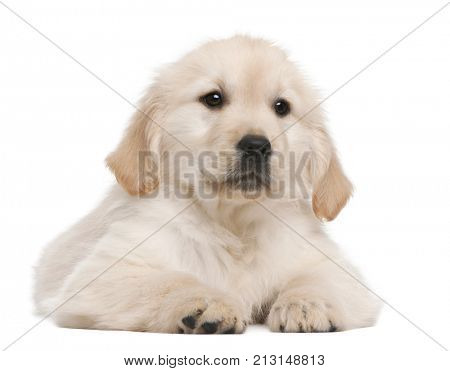 Golden Retriever puppy, 20 weeks old, lying in front of white background
