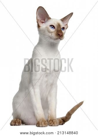 Siamese kitten, 5 months old, in front of white background