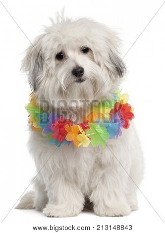 Mixed-breed dog, 10 months old, wearing Hawaiian lei in front of white background
