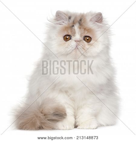 Persian kitten, 3 months old, sitting in front of white background