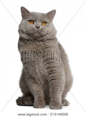 British Shorthair cat, 18 months old, sitting in front of white background