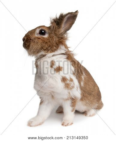 Portrait of a European Rabbit, Oryctolagus cuniculus, sitting in front of white background