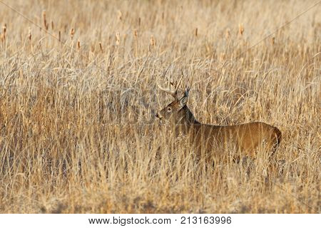 White-tailed deer buck walking amongst the tawny grass