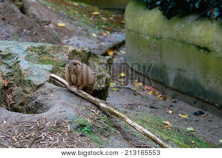 The black-tailed prairie dog