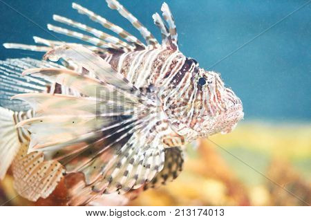 Lion Fish In Profile, Swimming In Water.
