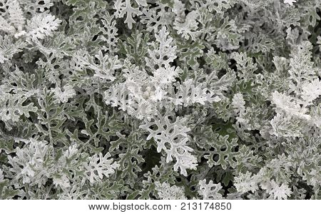 Cineraria Maritima Silver Dust. Soft Focus Dusty Miller Plant. Background Texture