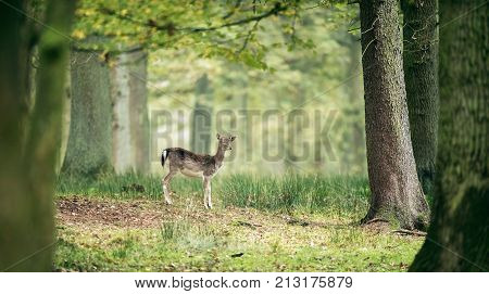 Sleepy Fallow Deer Youngster In Deciduous Autumn Forest.