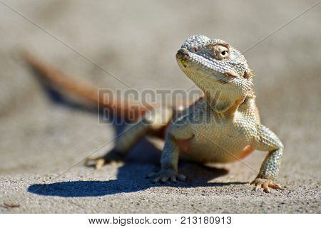 Agama lizard. Agama is the name of the genus of a group of small, long-tailed, insectivorous lizards, and the common name of these lizards.