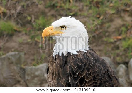 Portrait of a beautiful bald eagle, haliaeetus leucocephalus