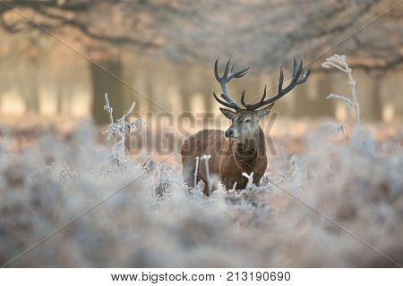 Red deer stag in frosty winter morning
