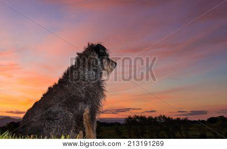 One New Zealand farm dog waiting to start work.