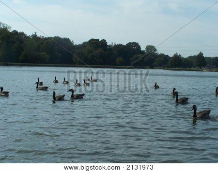Ducks Swimming For The Shore