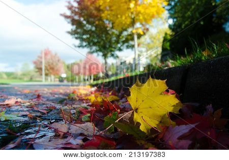 Maple Leaves On A Street Surface During Leaf Fall  - 2