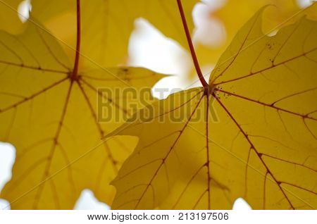 Texture Of Large Yellow Maple Leaves  - 2
