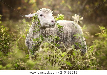 sheeps farm. sheep portrait close up background