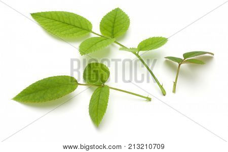 Green rose leaf isolated on white background cutout