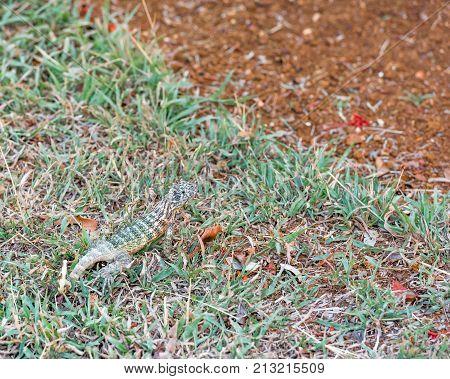Lizard On Green Grass, Varadero, Matanzas, Cuba. Close-up.
