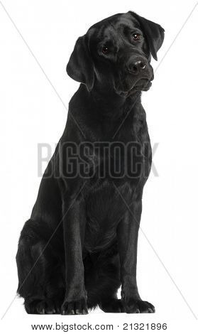 Labrador Retriever, 10 months old, sitting in front of white background