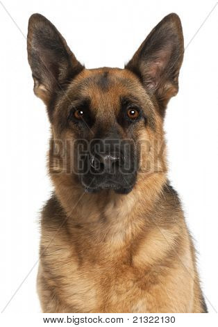 Close-up of German Shepherd Dog, 4 years old, in front of white background