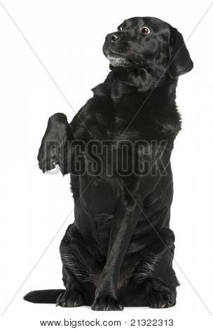 Labrador Retriever, 8 years old, sitting in front of white background