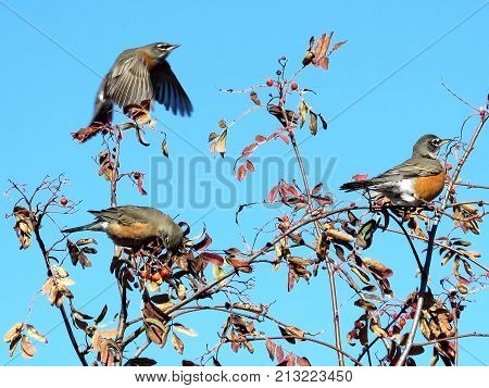 American Robins on rowanberry tree in forest of Thornhill Canada November 10 2017