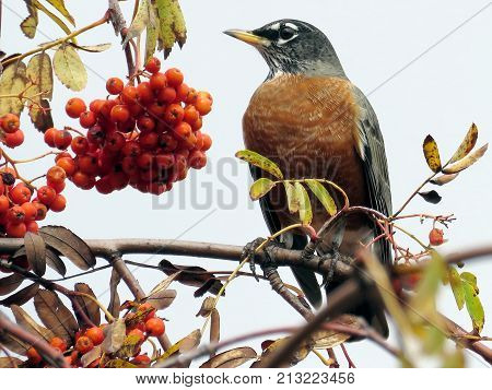The American Robin on a rowanberry branch in forest of Thornhill Canada November 3 2017