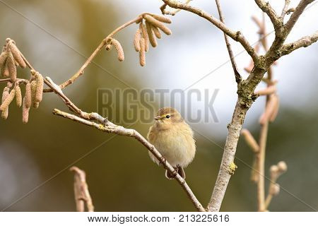 Common Chiffchaff, or North African leaf warbler, perched on a  branch with catkins.