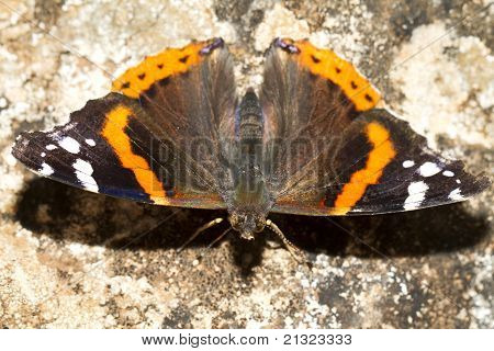 Close up view of the beautiful Painted Lady (Vanessa cardui) butterfly insect. poster