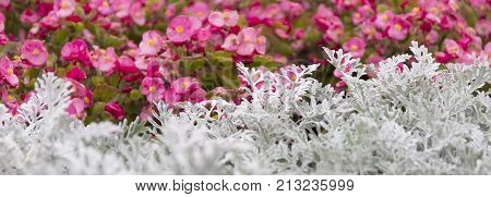 Cineraria Maritima Silver Dust And Summer Pink Flowers. Soft Focus Dusty Miller Plant. Background Te