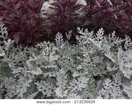 Cineraria Maritima Silver Dust And Dark Red Leaves. Soft Focus Dusty Miller Plant Background. Christ