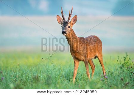 Roe buck with big antlers in a field