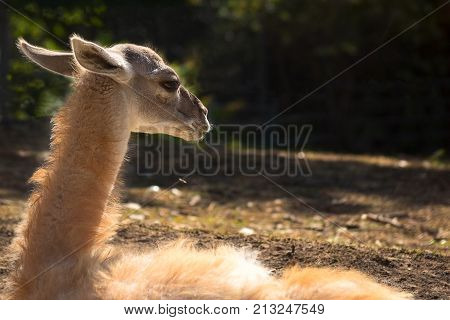 Fluffy young lama lighted by backlight in nature