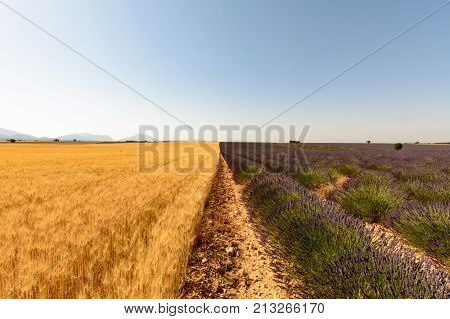 A Field Of Wheat And Lavender Are Encountered Along A Plot In Provence