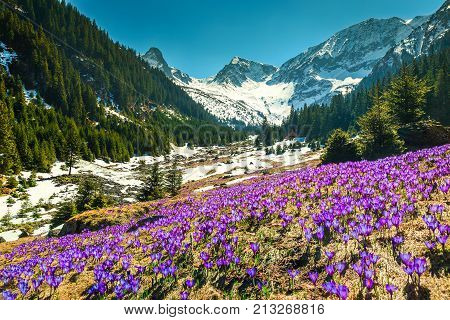 Amazing colorful fresh purple crocus flowers and stunning spring landscape in the Sambata valley Fagaras mountains Carpathians Transylvania Romania Europe