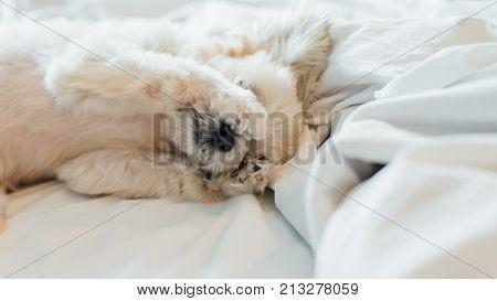 Sweet Dog Sleep Lies On A Bed Of White Veil
