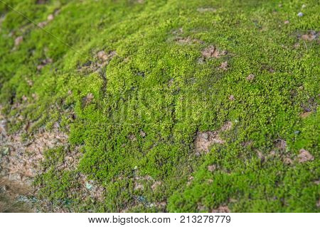Mosses Are Small Flowerless Plants In A Nature